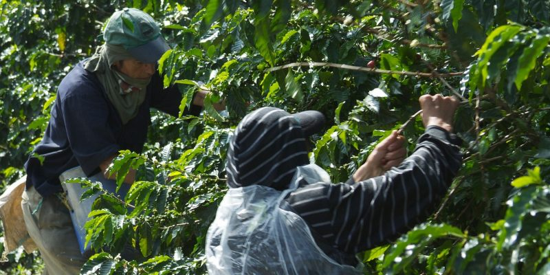 crop-arabica-coffee-beans-colombia-800x400